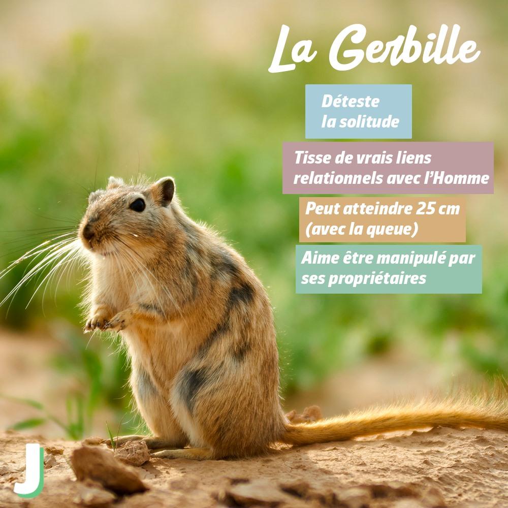 gerbille